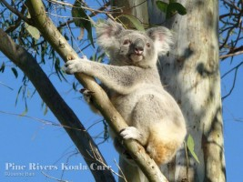 Pine_Rivers_Koala_Care14