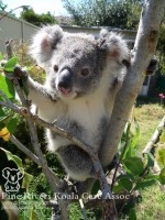 Pine_Rivers_Koala_Care15