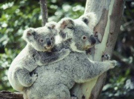 Pine_Rivers_Koala_Care16