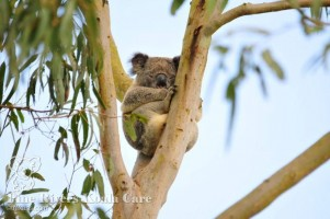 Pine_Rivers_Koala_Care17