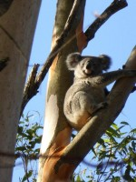 Pine_Rivers_Koala_Care20