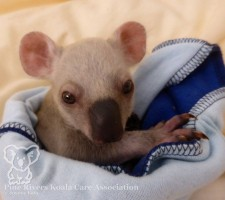 Pine_Rivers_Koala_Care24