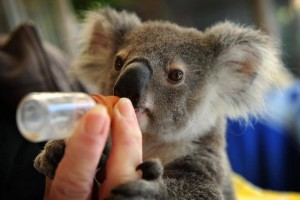 Pine_Rivers_Koala_Care25