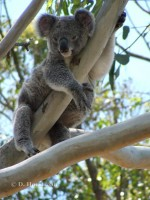 Pine_Rivers_Koala_Care29