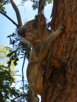 Pine_Rivers_Koala_Care31