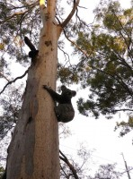 Pine_Rivers_Koala_Care32