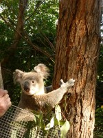 Pine_Rivers_Koala_Care33