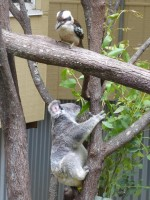Pine_Rivers_Koala_Care34