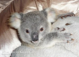 Pine_Rivers_Koala_Care5