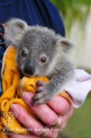 Pine_Rivers_Koala_Care7