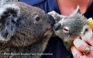 Pine_Rivers_Koala_Care8